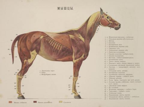 Image 1. Ippologicheskii atlas dlia nagliandnago izucheniia verkhovoi loshadi, General-Maior Bilderling, 1889.