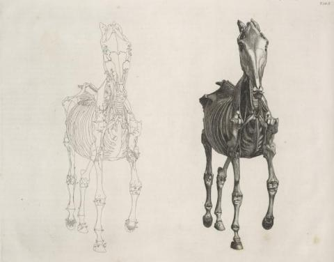 Image 1. The anatomy of the horse, George Stubbs, 1766.