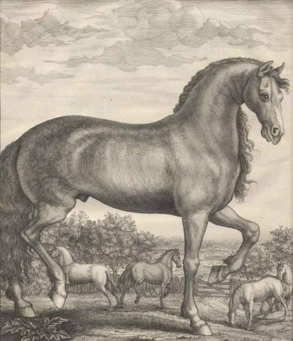 Horse illustration from Andrew Snape's Anatomy of an Horse